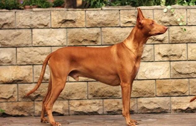 pharaoh dog breed