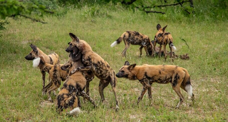 African Wild Dog speed