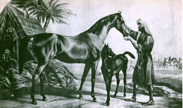 Arabian Thoroughbred