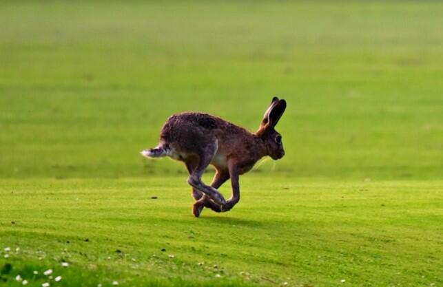 Hare speed
