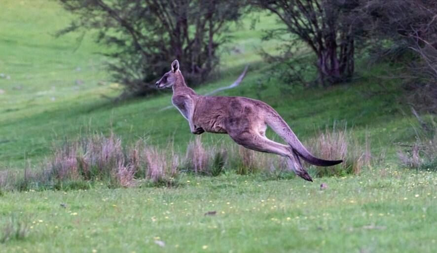Kangaroo speed