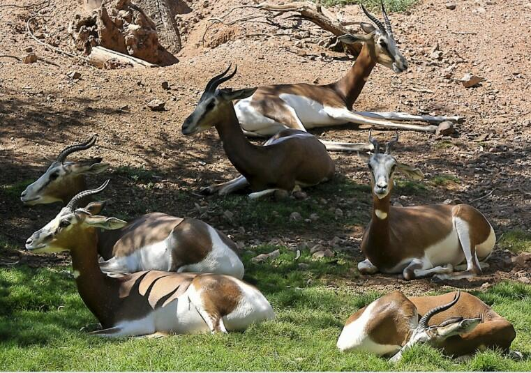 Pronghorn speed