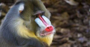 the mandrill monkey