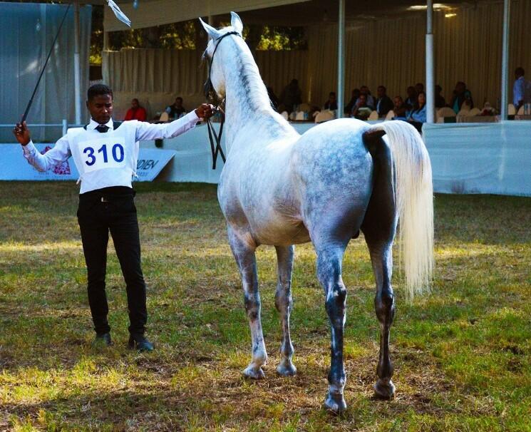 straight egyptian horses