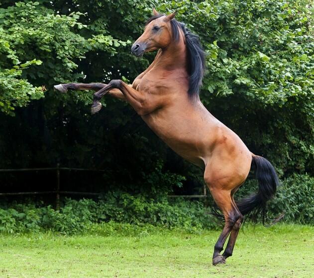 arabian horse shape