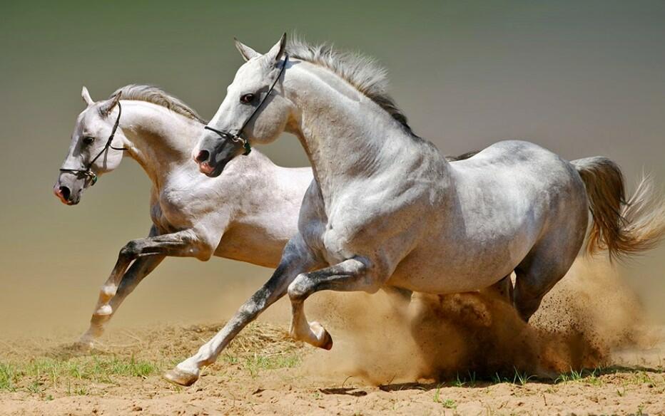arabian horse speed