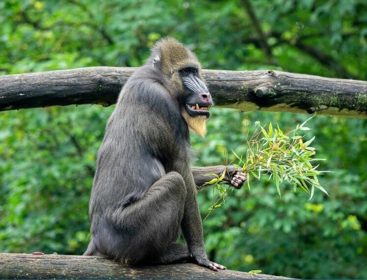 female mandrill