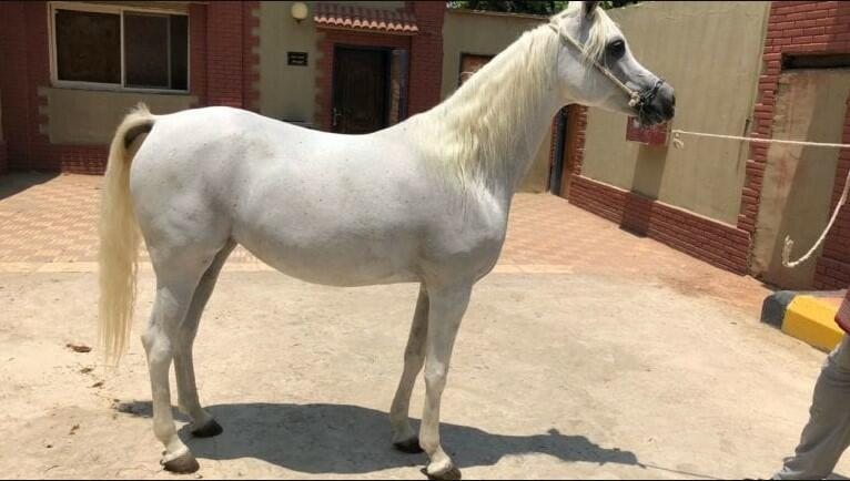 white egyptian horse