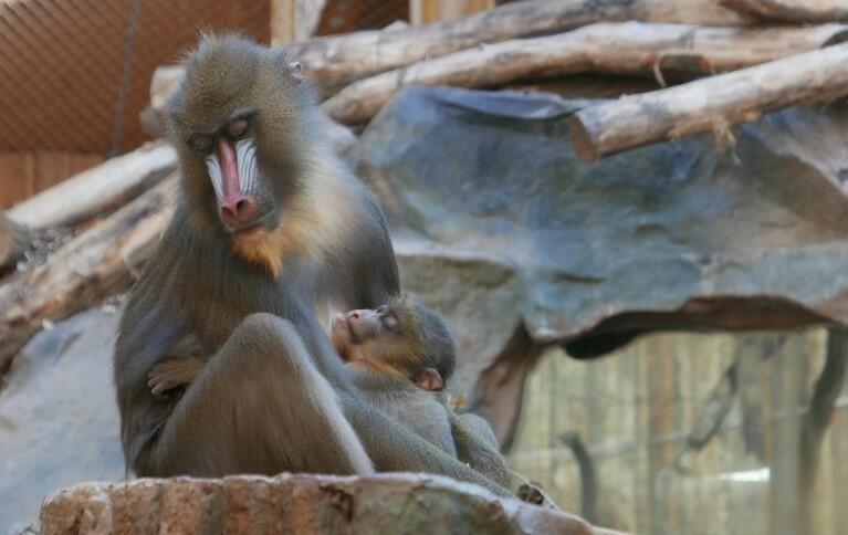 The Mandrill monkey