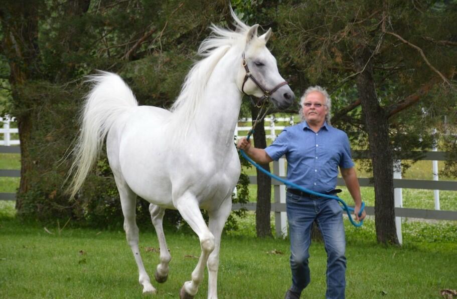 White Arabian horses