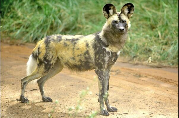 domestic African wild dog
