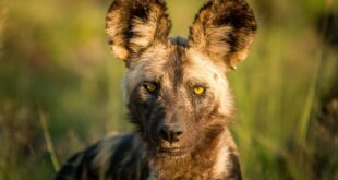 African wild dog as a pet