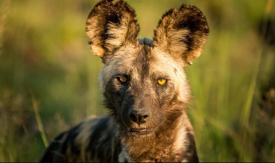 African wild dog pet