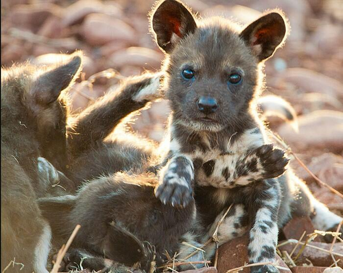African wild dog puppy African wild dog as a pet