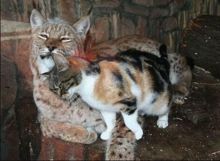 lynx domestic cat lynx pet lynx cat pet highland lynx cat lynx house cat lynx domestic cat canadian lynx pet lynx cats for sale