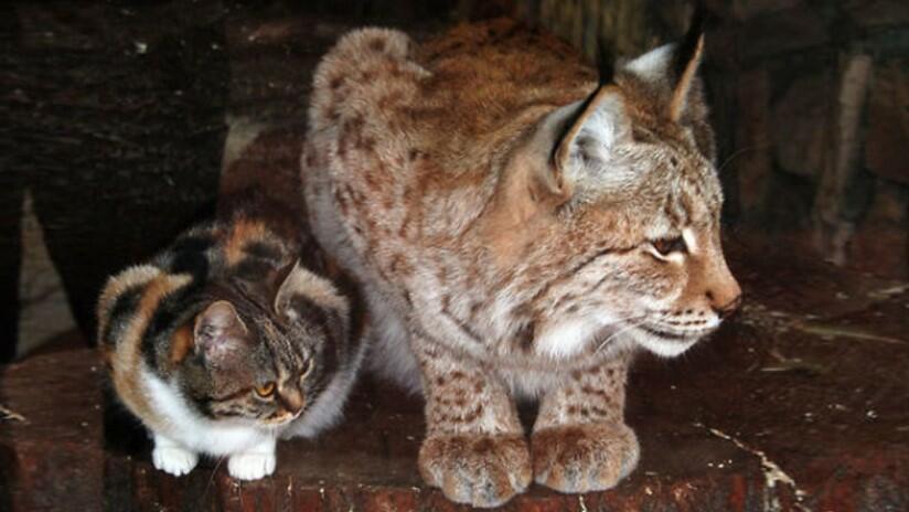 Domestic Lynx lynx pet lynx cat pet highland lynx cat lynx house cat lynx domestic cat canadian lynx pet lynx cats for sale