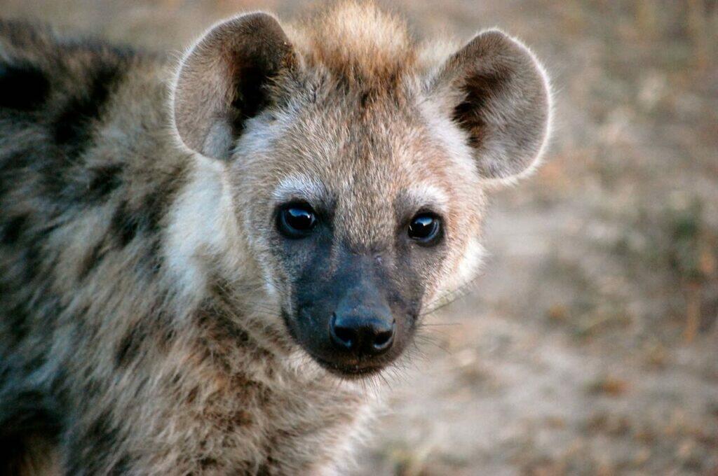 hyena as a pet