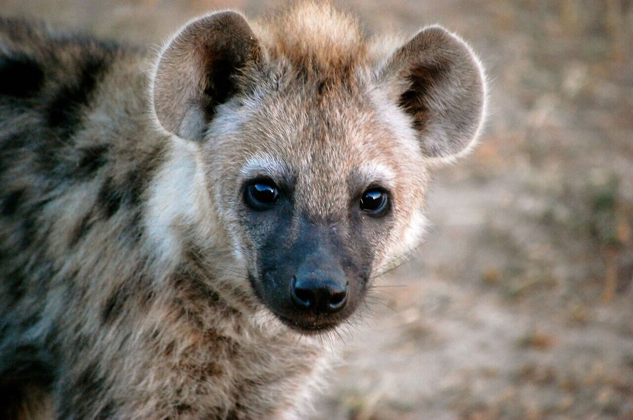 hyena as a pet