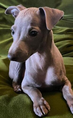 miniature italian greyhound miniature greyhound mini italian greyhound