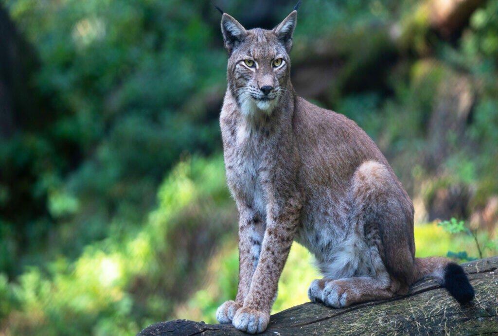 lynx as a pet lynx cat; lynx cat for sale; lynx pet; lynx cat pet; highland lynx cat; lynx house cat; lynx domestic cat; canadian lynx pet; lynx cats for sale; domesticated;