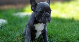 blue bulldog breed