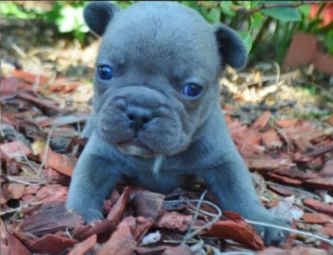 French blue Bulldog puppies