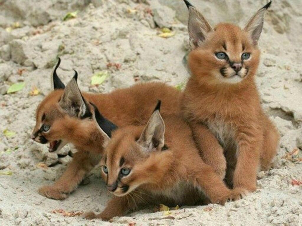 lynx kitten  lynx pet lynx cat pet highland lynx cat lynx house cat lynx domestic cat canadian lynx pet lynx cats for sale