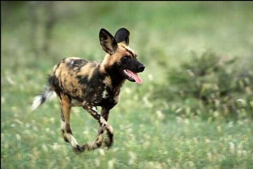 African Wild Dog Training African wild dog as a pet