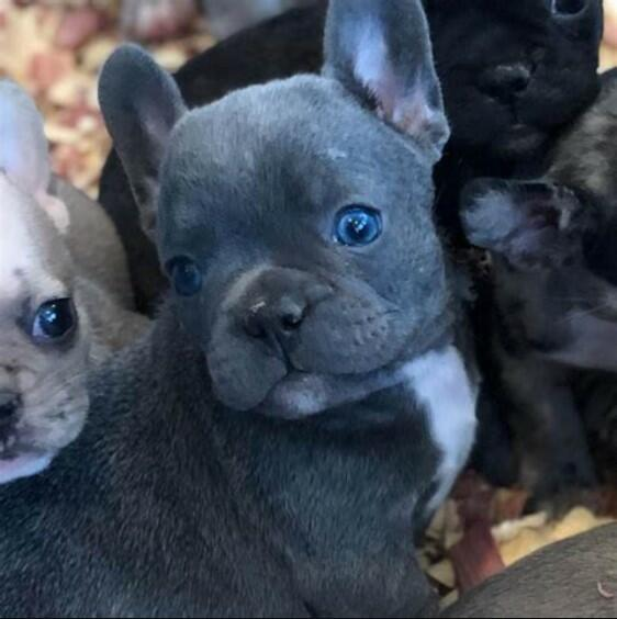 french bulldog blue eyes