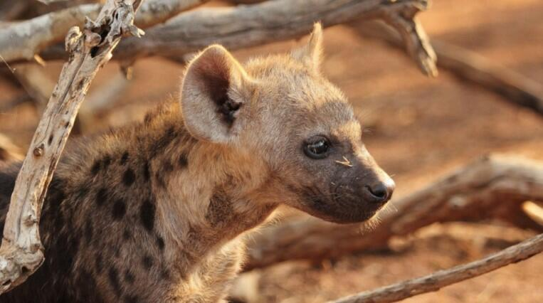 hyena pet price