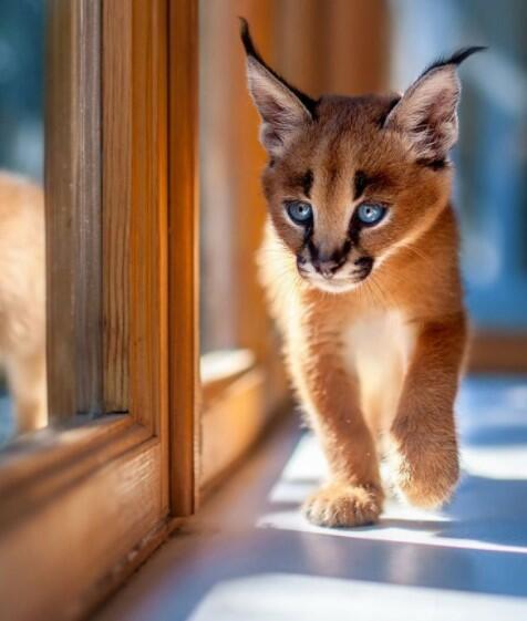lynx cat  lynx cat for sale lynx pet lynx cat pet highland lynx cat lynx house cat lynx domestic cat canadian lynx pet lynx cats for sale