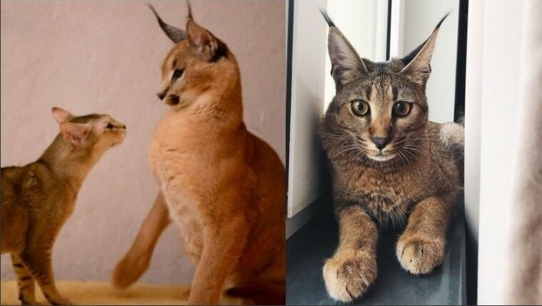 Domestic Lynx lynx as a pet Domestic cat crossed with wild lynx lynx pet lynx cat pet highland lynx cat lynx house cat lynx domestic cat canadian lynx pet lynx cats for sale lynx the cat