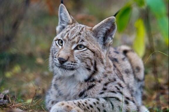 lynx kitten pet
