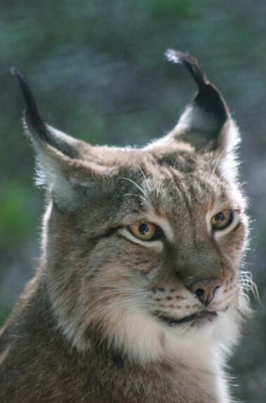 lynx pet price