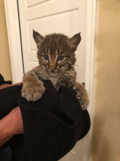 lynx as a pet lynx pet lynx cat pet highland lynx cat lynx house cat lynx domestic cat canadian lynx pet lynx cats for sale