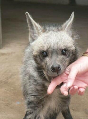 puppy hyena pet