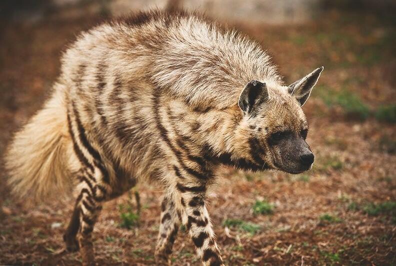 hyena as a pet hyena pet pet hyena for sale pet hyena hyena puppies