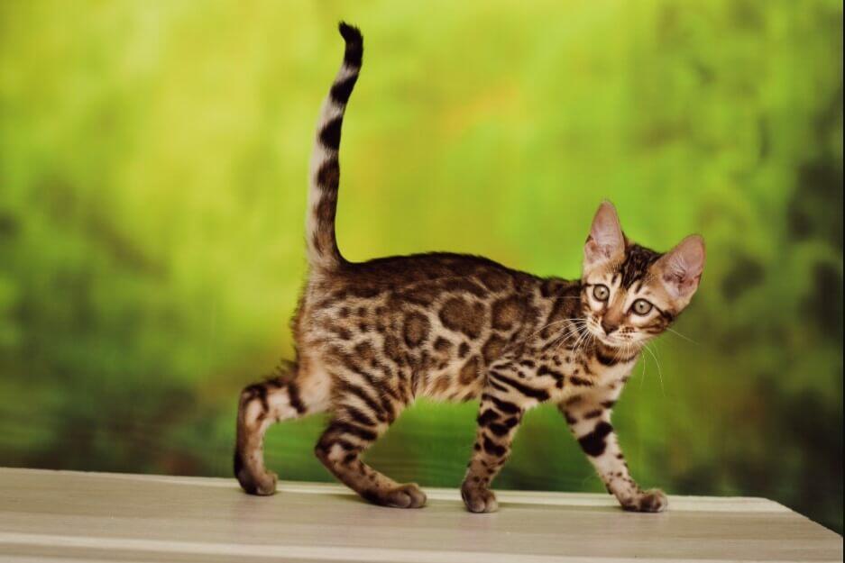 wild cat as a pet