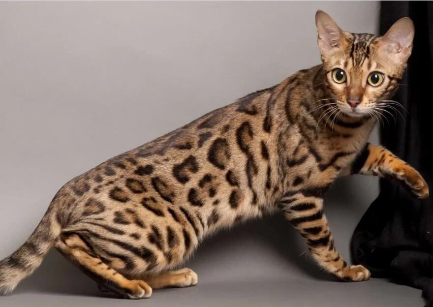 Bengal Cat as a pet