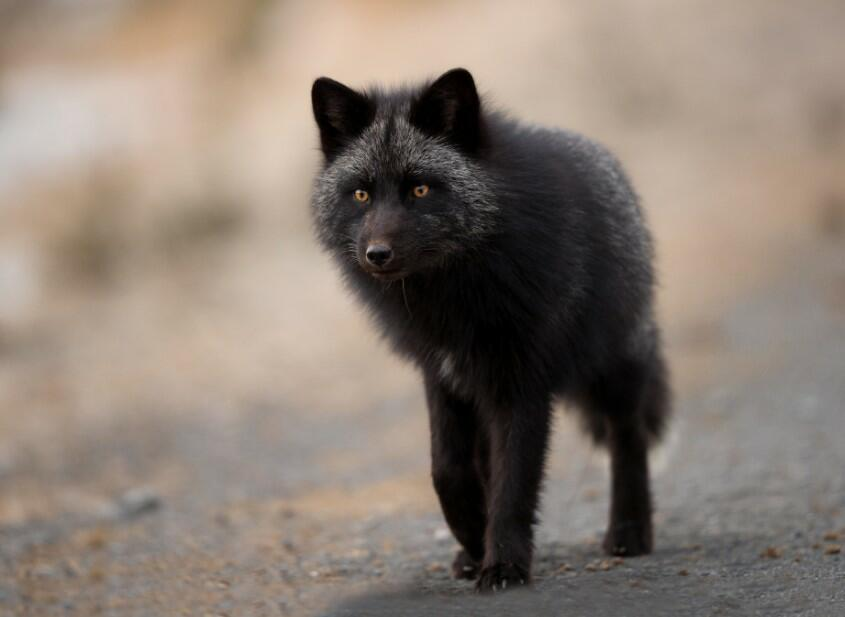 silver foxes silver fox animal silver fox animal, what is a silver fox, silver fox pet, what is a silver fox, silver haired fox, silver fox furs, russian silver fox,