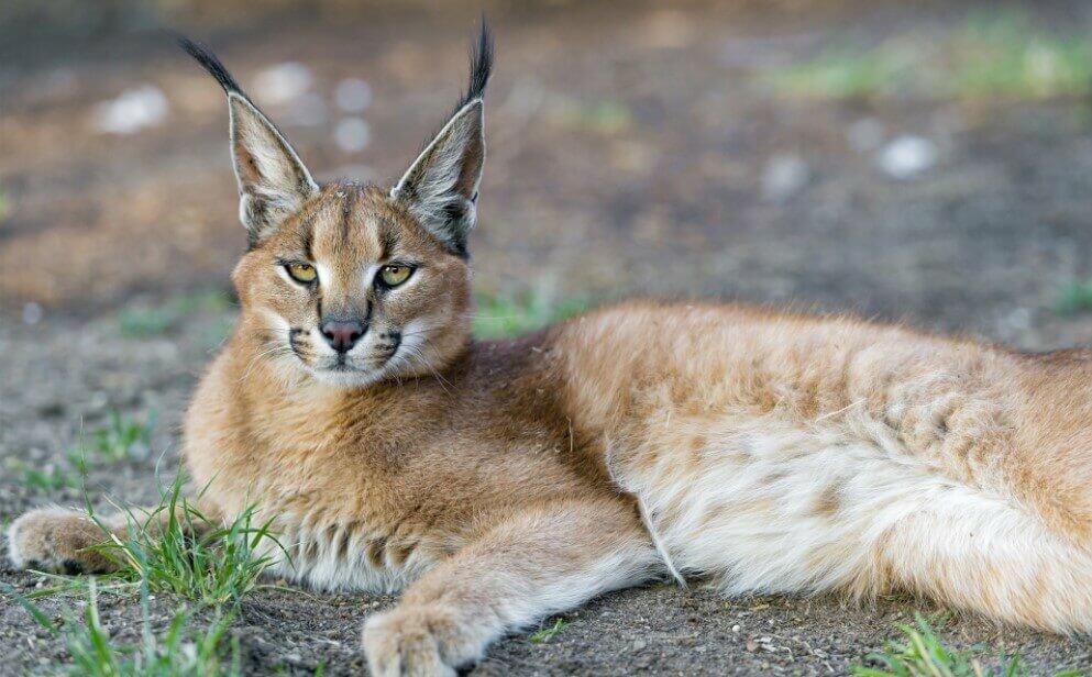 Lynx Cat
