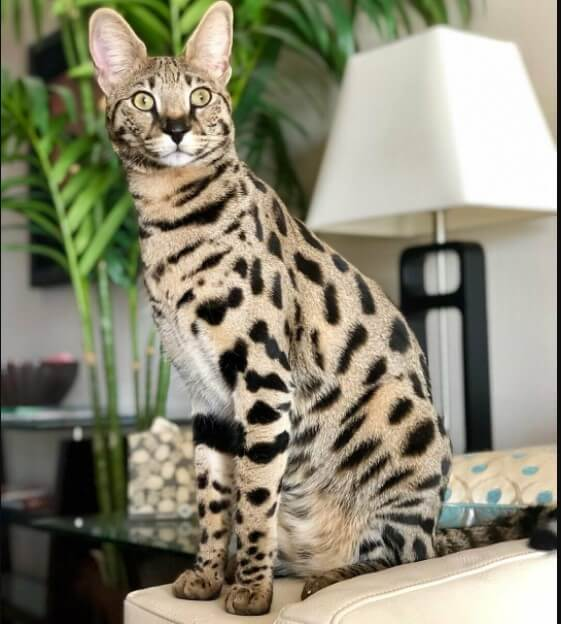 Savannah as a pet