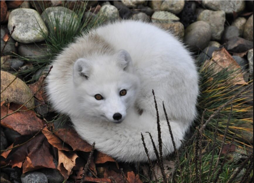 arctic fox as a pet