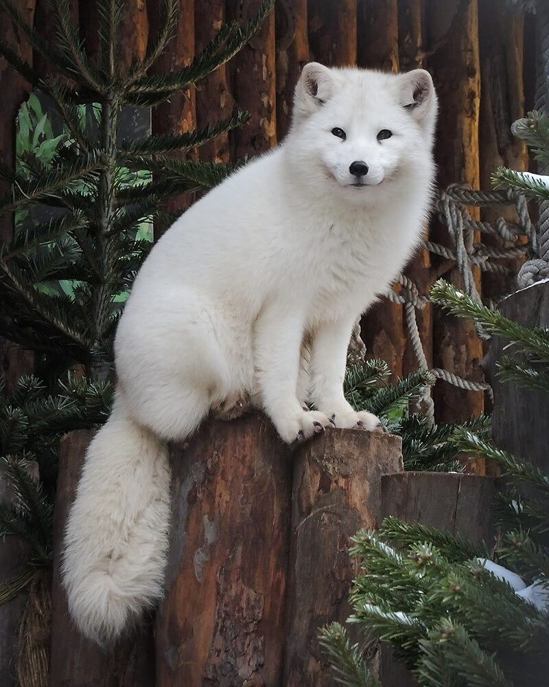 domesticated arctic fox