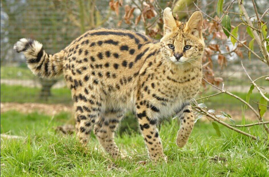 cat that looks like a cheetah