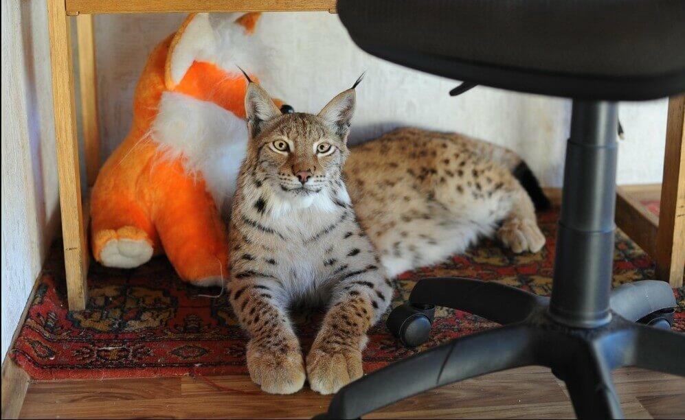 wild cat for pet
