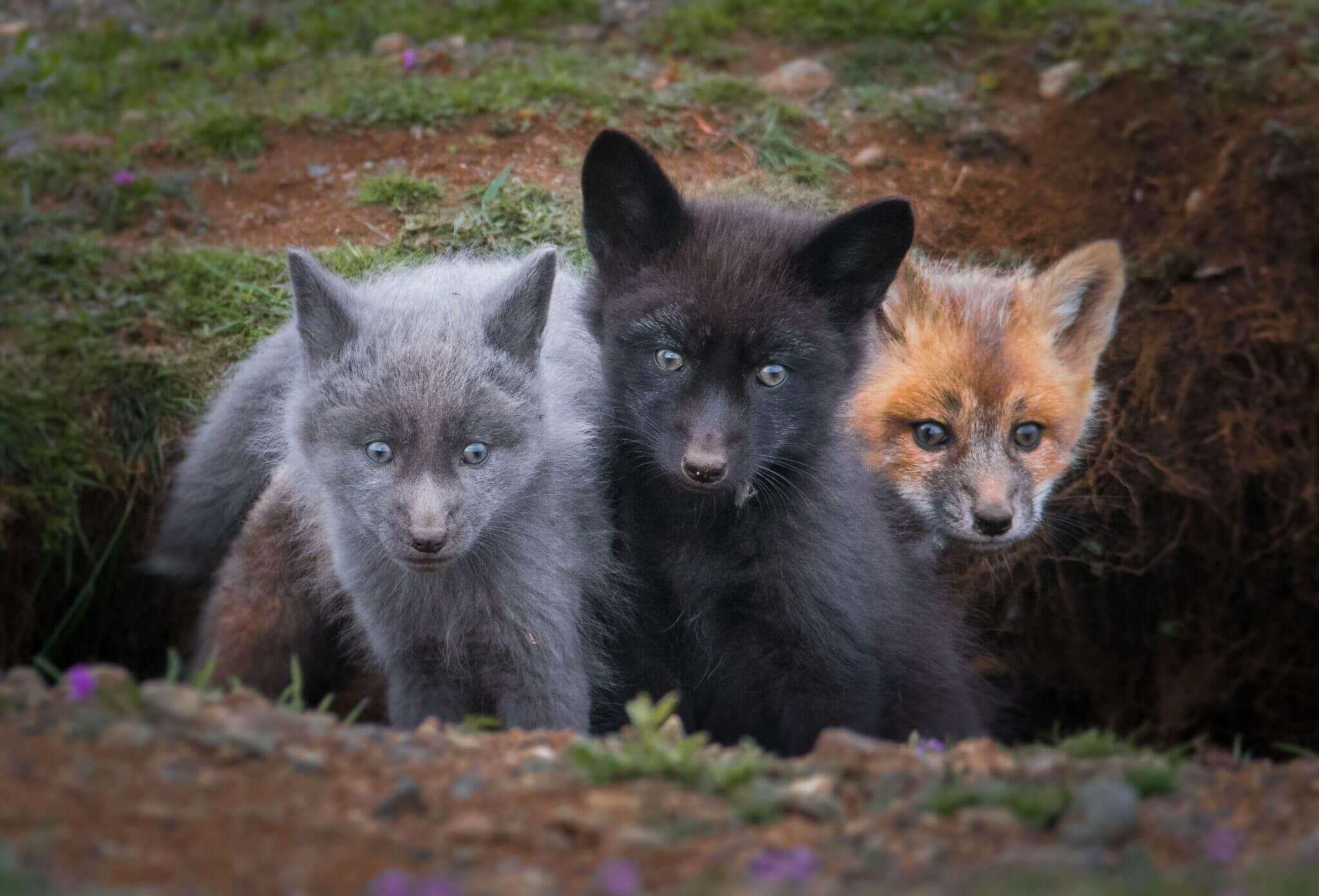 silver fox puppy