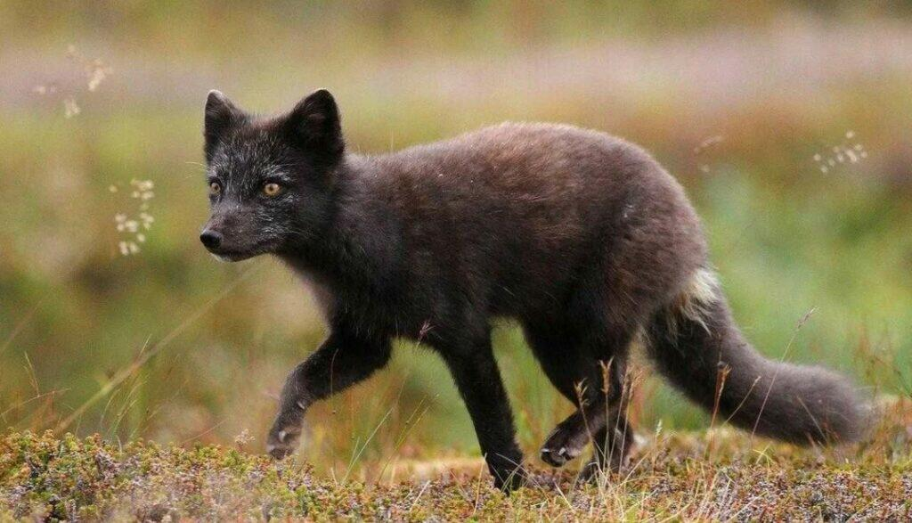 silver fox animal, what is a silver fox, silver fox pet, what is a silver fox, silver haired fox, silver fox furs, russian silver fox,