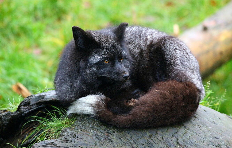 the silver fox animal