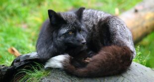 the silver fox animal